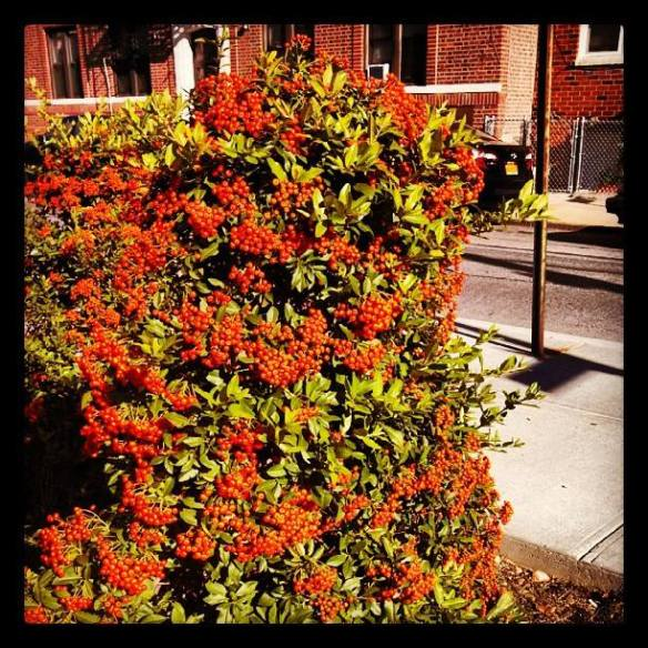 This bush stopped me in my tracks yesterday. How lucky am I to walk past it each day?